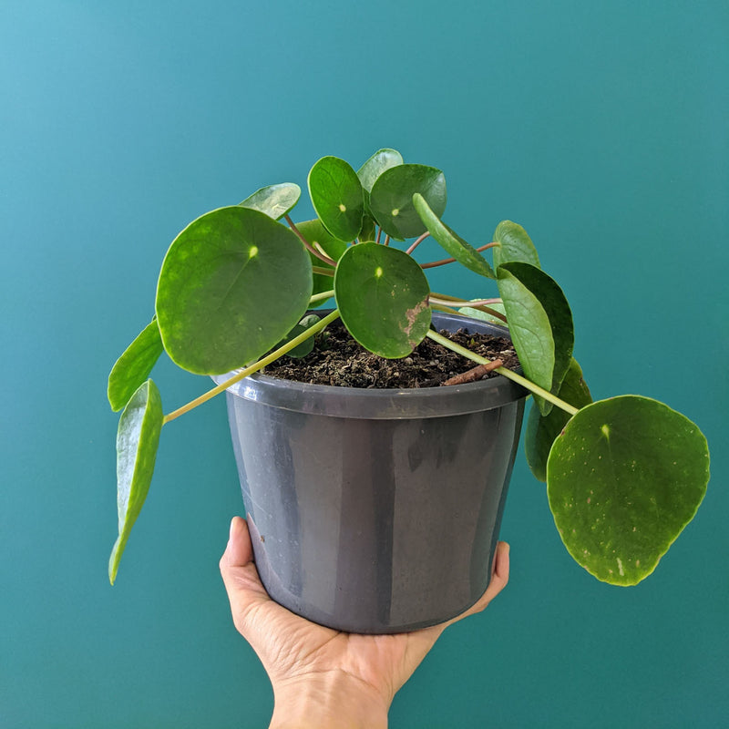 Chinese Money Plant - Pilea peperomioides (M)