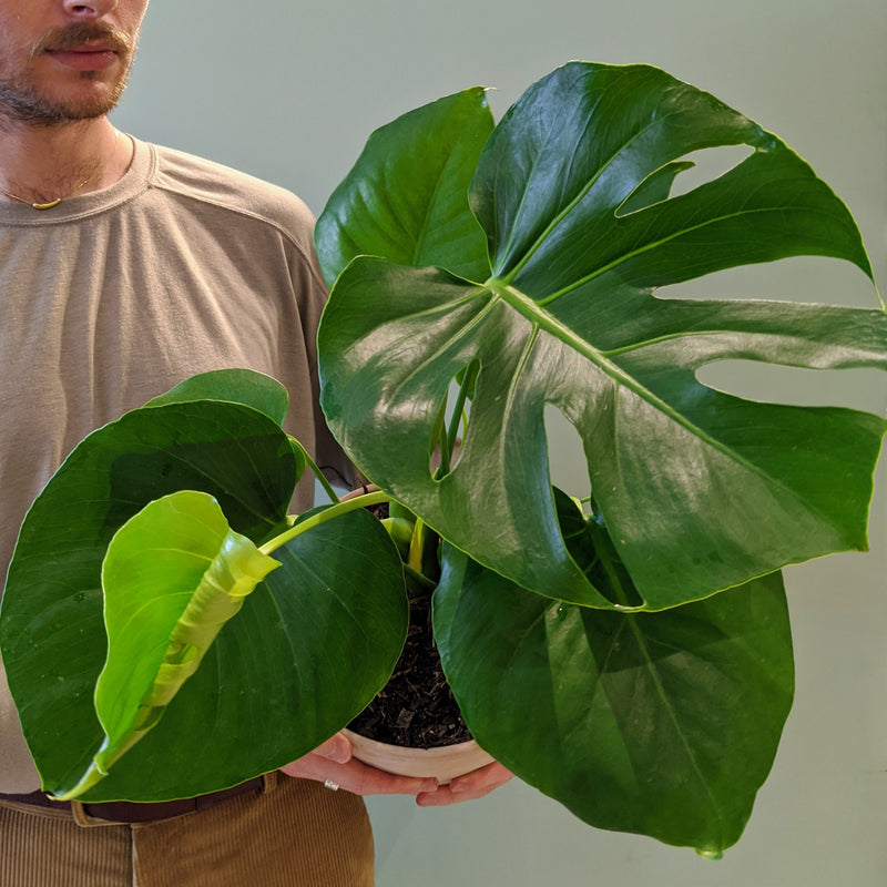 Monstera deliciosa - Fruit Salad Plant (M)