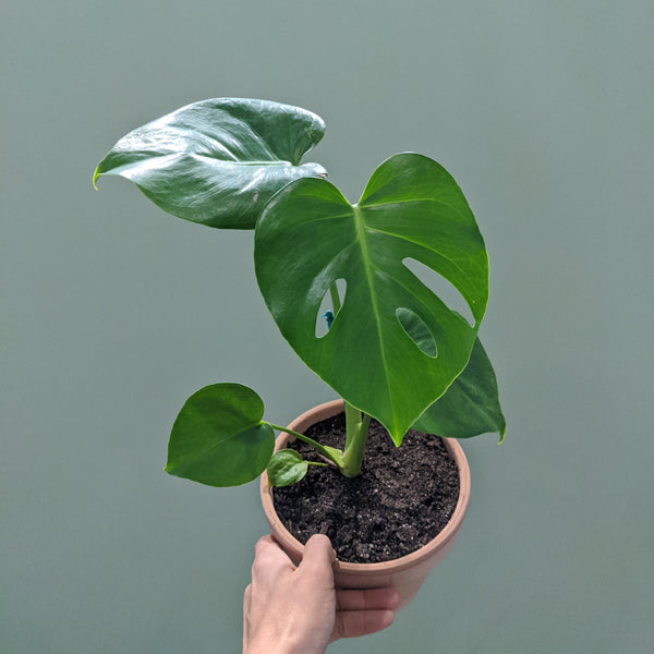 Monstera deliciosa - Fruit Salad Plant (S)