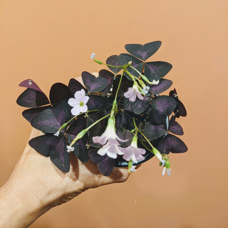 Oxalis triangularis - False Shamrock (XS)