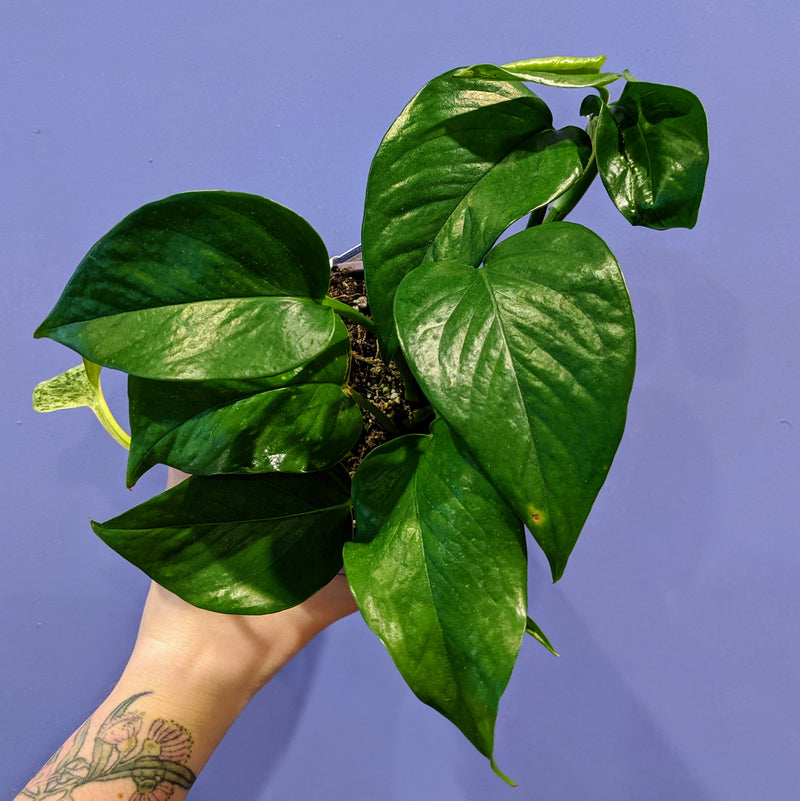 Green Dragon' - Pothos (S)