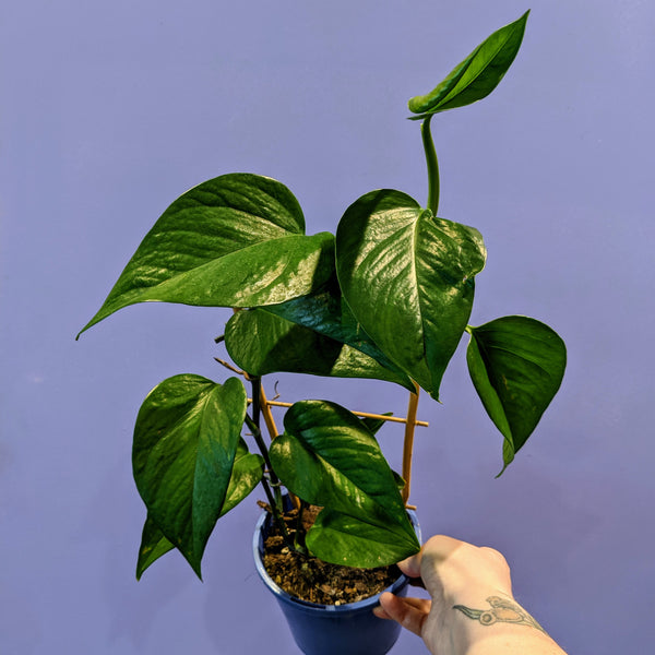 Devils Ivy 'Green Dragon' - Pothos (S)