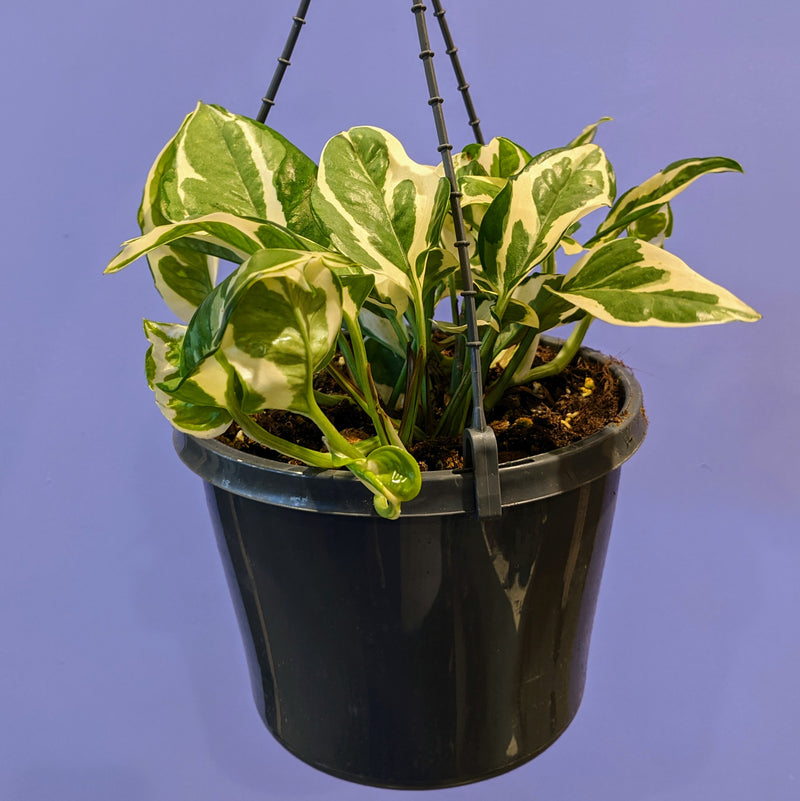 Pothos Snow Queen (Hanging Basket M)
