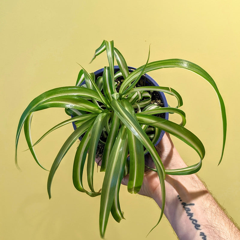 Curly Spider Plant (S)