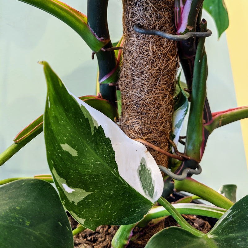 White Princess Philodendron (Totem - L)
