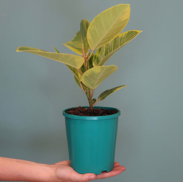 Ficus 'Yellow Gem' (S)