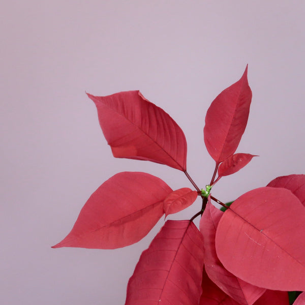 Poinsettia in Ceramic (S)
