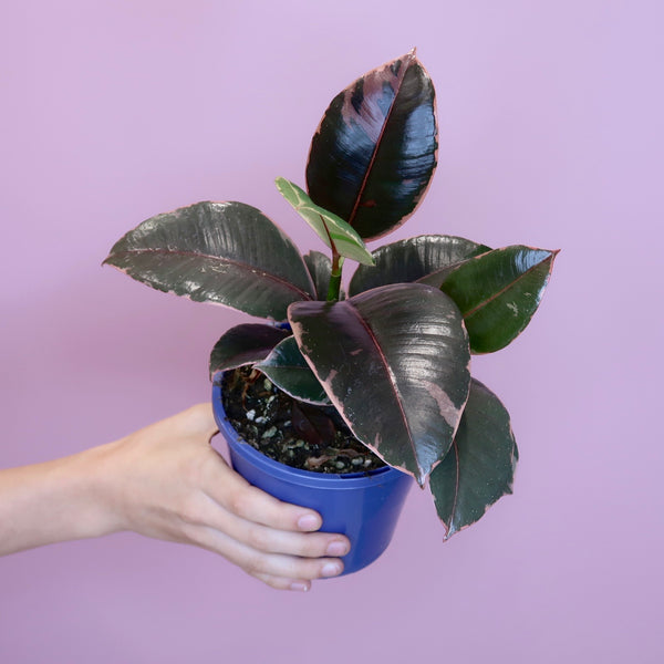 Variegated Rubber Plant 'Ruby' (S)