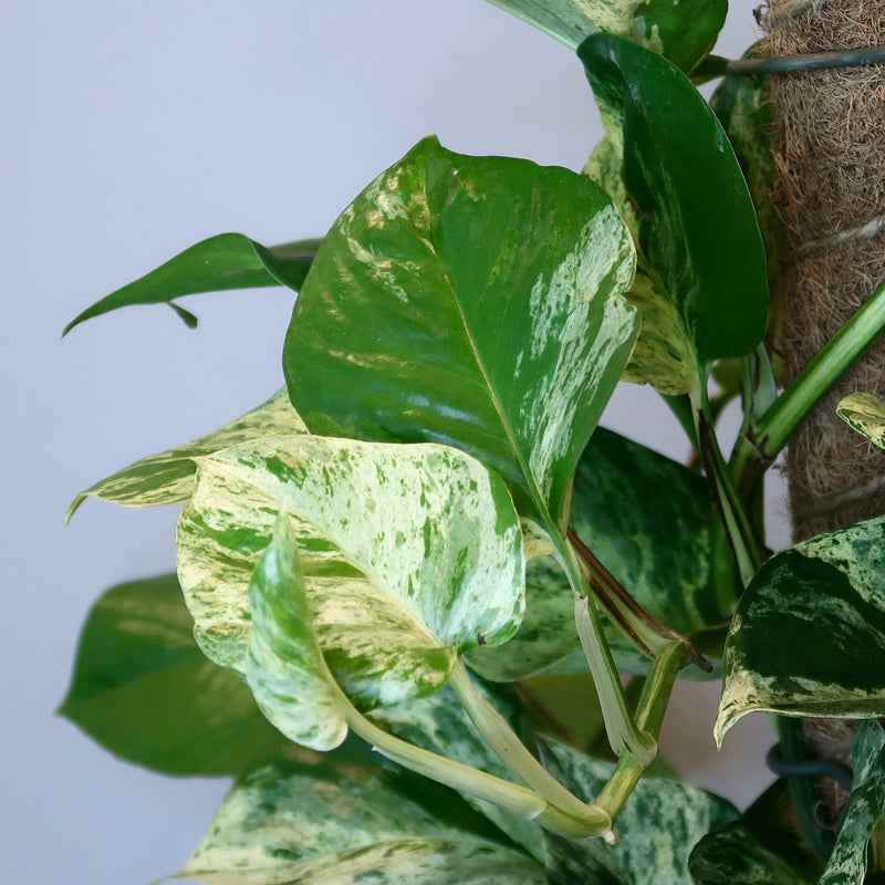 'Marble Queen' - Pothos (Totem - M)