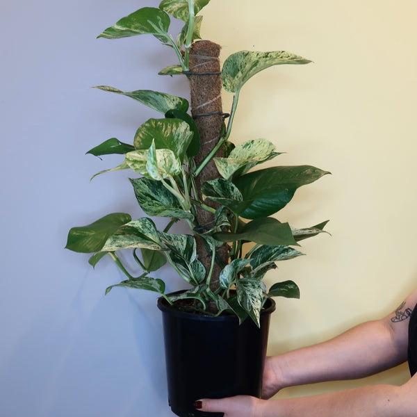 Marble Queen' - Pothos (Totem - M)