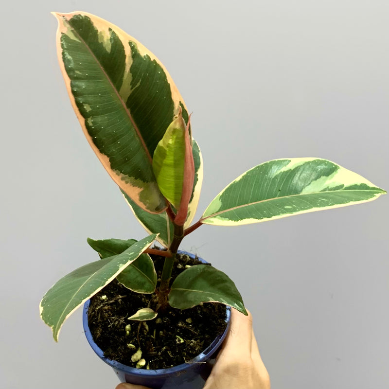 Ficus 'Tineke' - Variegated Rubber Plant (XS)