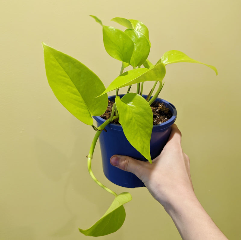 'Goldilocks' - Pothos (S)