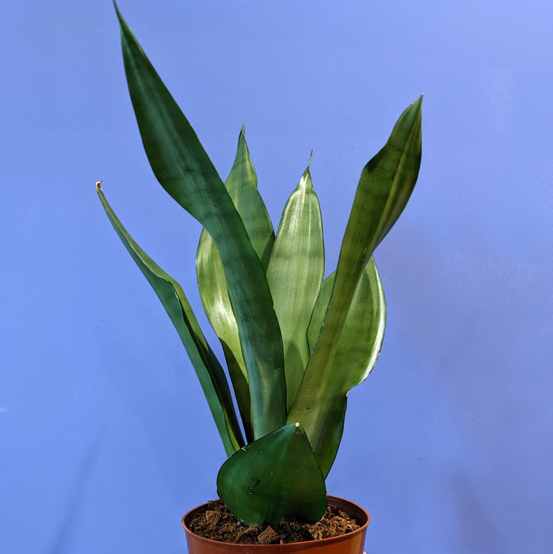 Sansevieria Moonshine - 'Snake Plant' / 'Mother-in-Law's Tongue' (S)