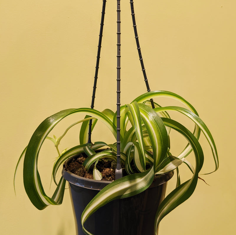 Curly Spider Plant (Hanging Basket - M)