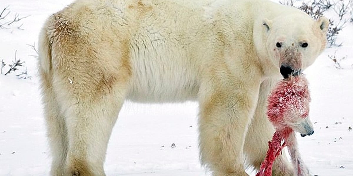 Polar bears are being forced into CANNIBALISM by climate change and fossil fuel extraction with large males attacking females with cubs, scientist reveals