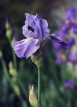Load image into Gallery viewer, Wild Purple Iris Sticker
