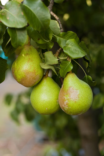 Grafted Pear Trees