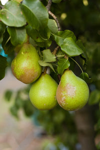 Grafted European Pear Trees
