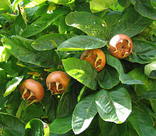 Grafted Medlar Trees