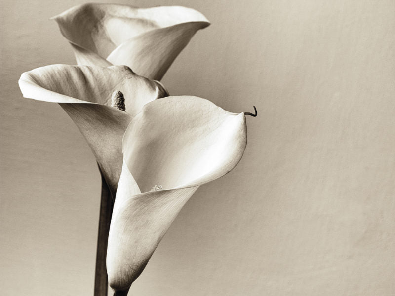A close up picture of three Callas Lilies in a monochrome brown color
