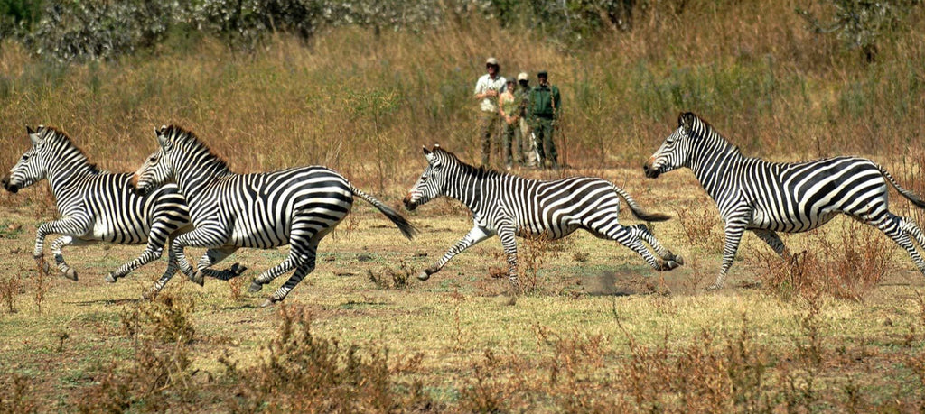 Zambia | Walking Safari  November 2021