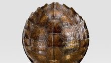 Load image into Gallery viewer, Mounted Wooden Turtle Shell