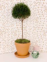 Load image into Gallery viewer, X-Large Myrtle Topiary, Terra Cotta Pot, Daily Water!