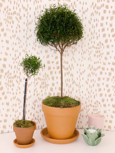 X-Large Myrtle Topiary, Terra Cotta Pot, Daily Water!