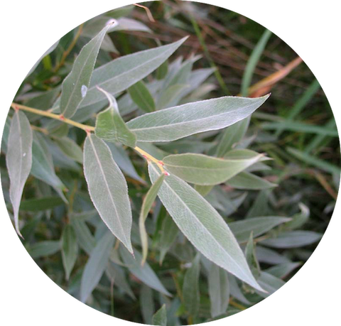 Willow extract