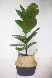 Ficus Lyrata in Balinese Seagrass Basket
