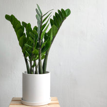Load image into Gallery viewer, Zamioculcas Zamiifolia