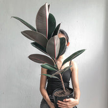 Load image into Gallery viewer, Ficus Burgundy