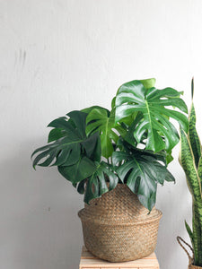 Monstera Deliciosa (Adult)