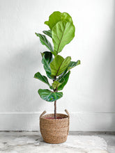 Load image into Gallery viewer, Ficus Lyrata (Teenie)