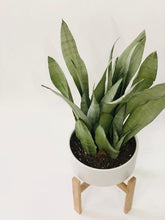 Load image into Gallery viewer, Sansevieria Moonshine in Oak Stand