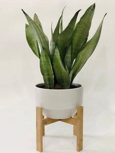 Sansevieria Moonshine in Oak Stand