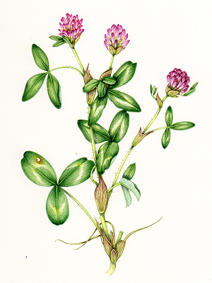 Red Clover Blossoms