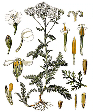 Yarrow leaves and flowers