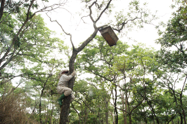 Forest beekeeper checking on a hive