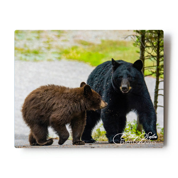 "Black Bear Family 8 X 10"" Photographic Metal Print"