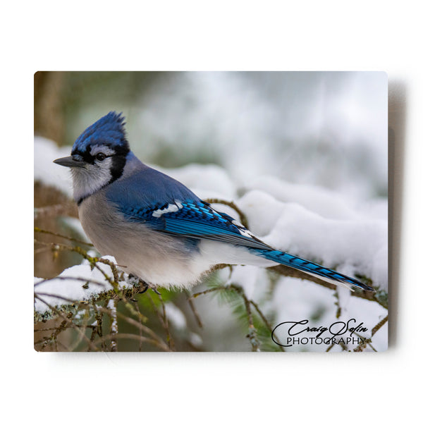 Blue Jay In Snow 8 X 10 Photographic Metal Print