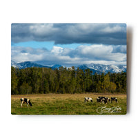 Cows in Creston Montana 8 X 10 Metal Print