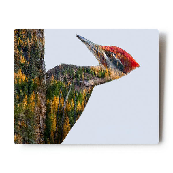 Pileated Woodpecker Double Exposure 8X10 Metal Print