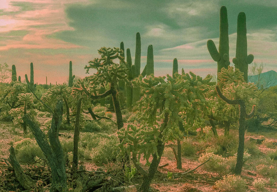 Beautiful cactuses in the desert