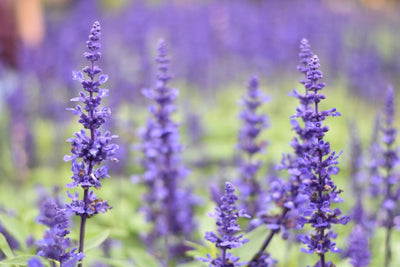 3 Ways to Show Love with Lavender