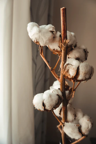 Organic Cotton Plant, one of the Morcant choices of material
