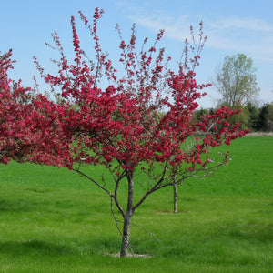 Load image into Gallery viewer, Crab Apple Tree - KBF Farms - Farm Market & Nursery - K.B.F. Enterprises Inc.