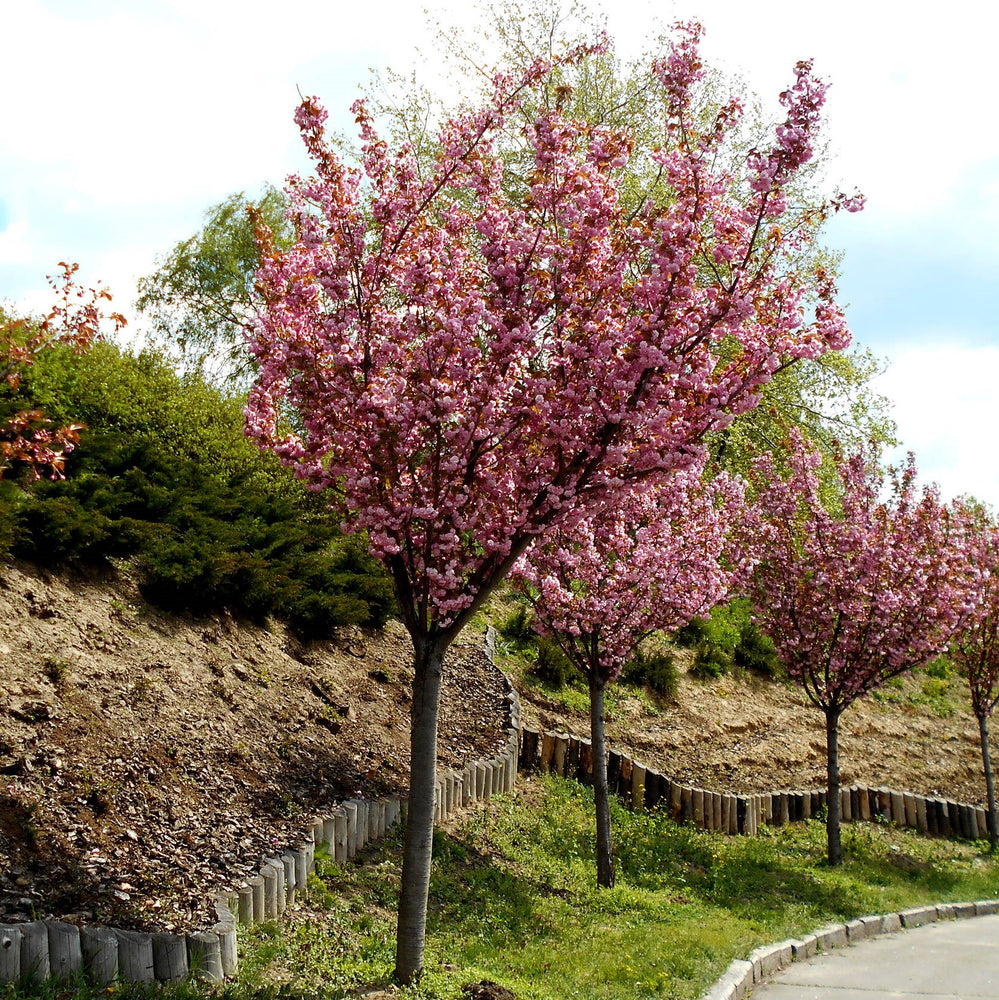 Flowering Cherry Tree - KBF Farms - Farm Market & Nursery - K.B.F. Enterprises Inc.