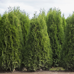 Hedging Cedar Tree - KBF Farms