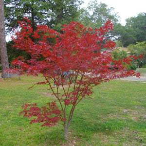 Load image into Gallery viewer, Japanese Maple Tree - KBF Farms